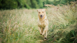 Golden Labrador Bounding in grass field