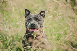 Staffordshire bull terrier sitting in the grass