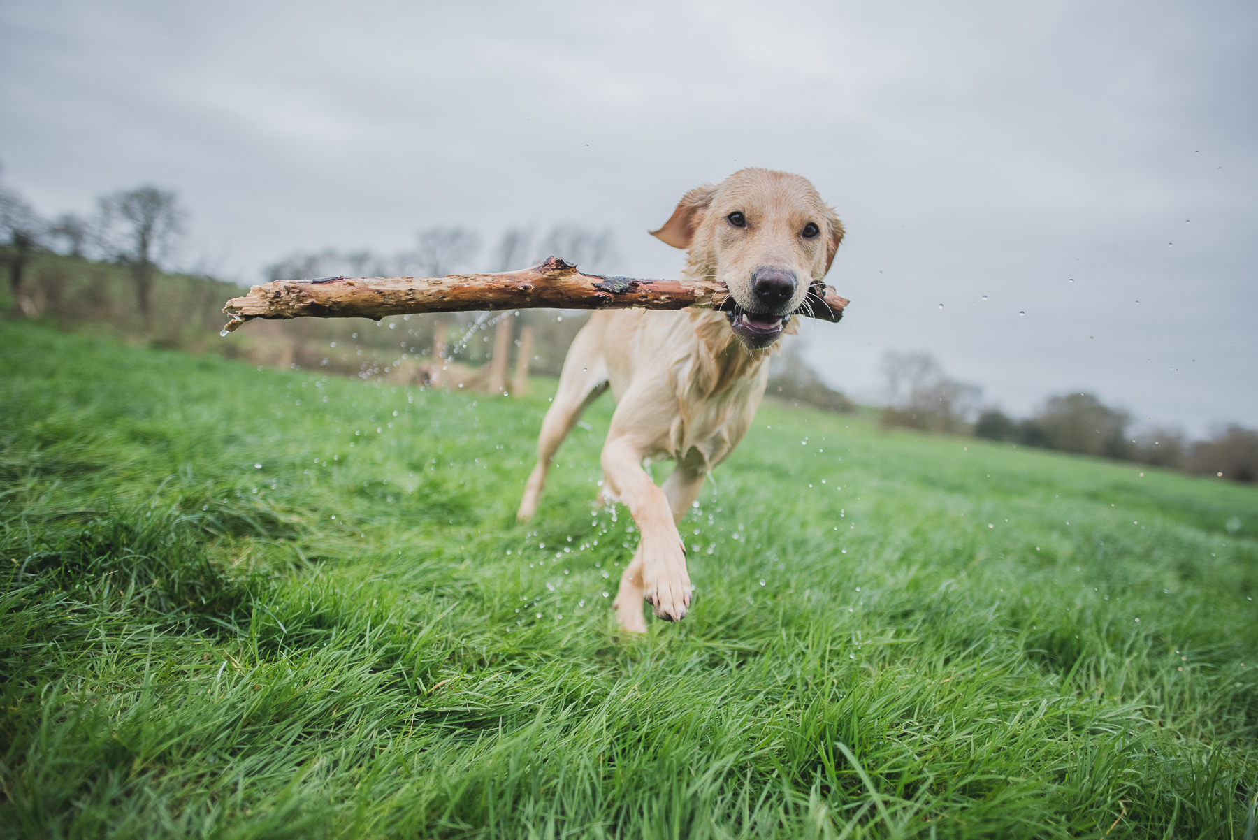 Wet golden labrador holding a stick