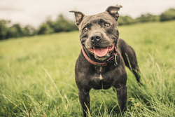 Staffordshire bull terrier standing field