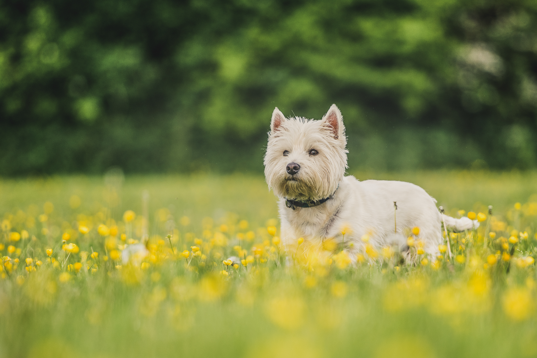 West highland terrier standing in buttercups