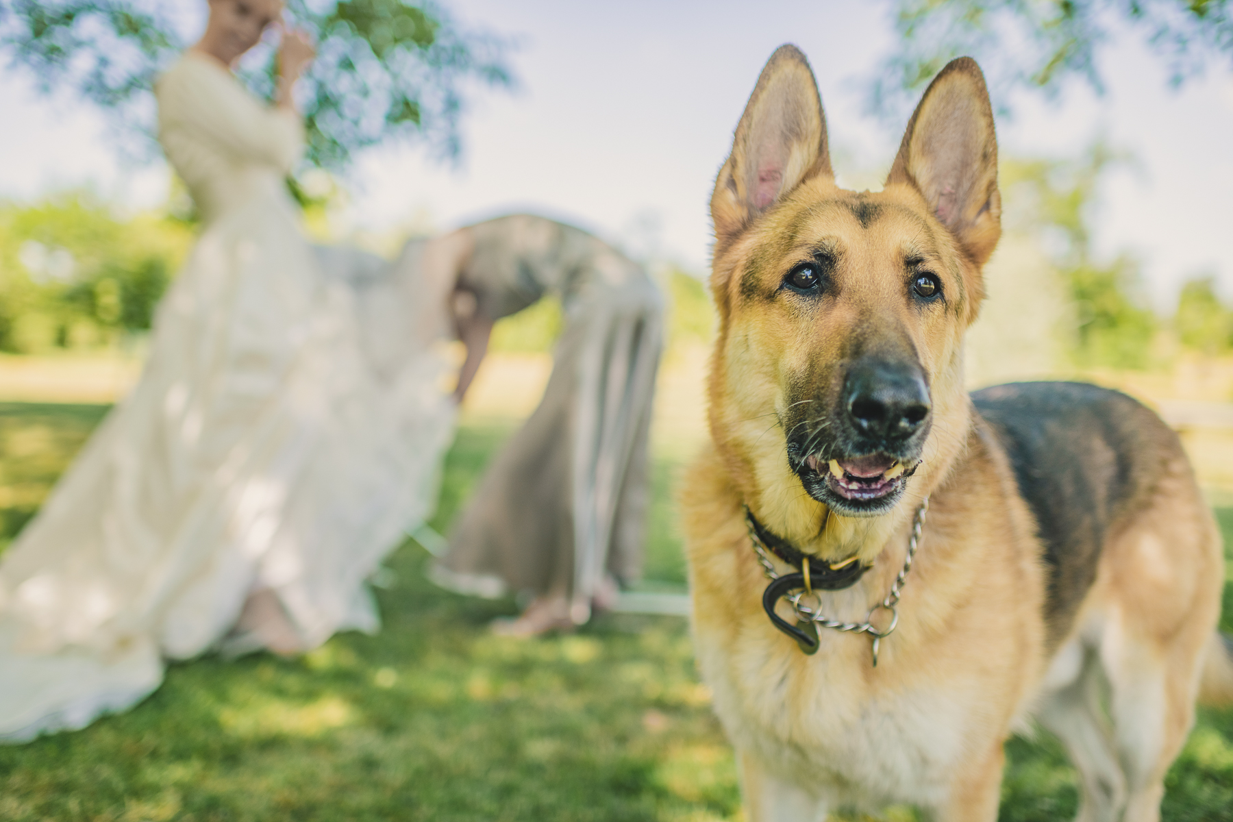 Alsatian with bride in the background