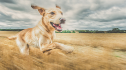 Yellow Labrador running through wheat field