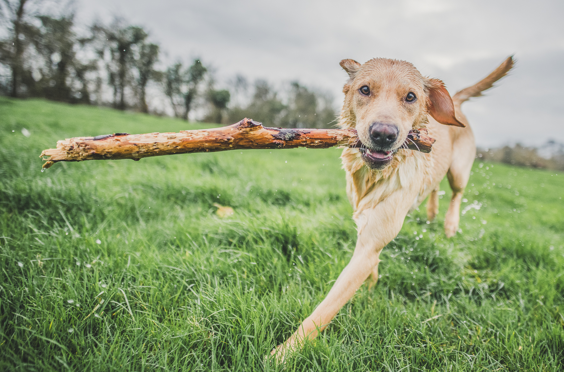 Yellow labrador running with stick