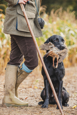 Black Labrador holding Partridge