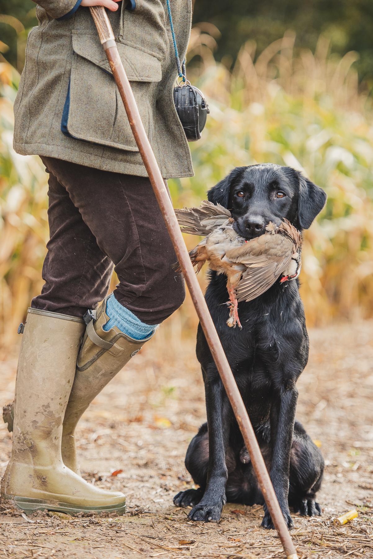 Black Labrador holding red legged partridge