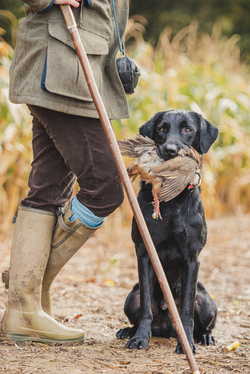 Black Labrador holding red legged partridge