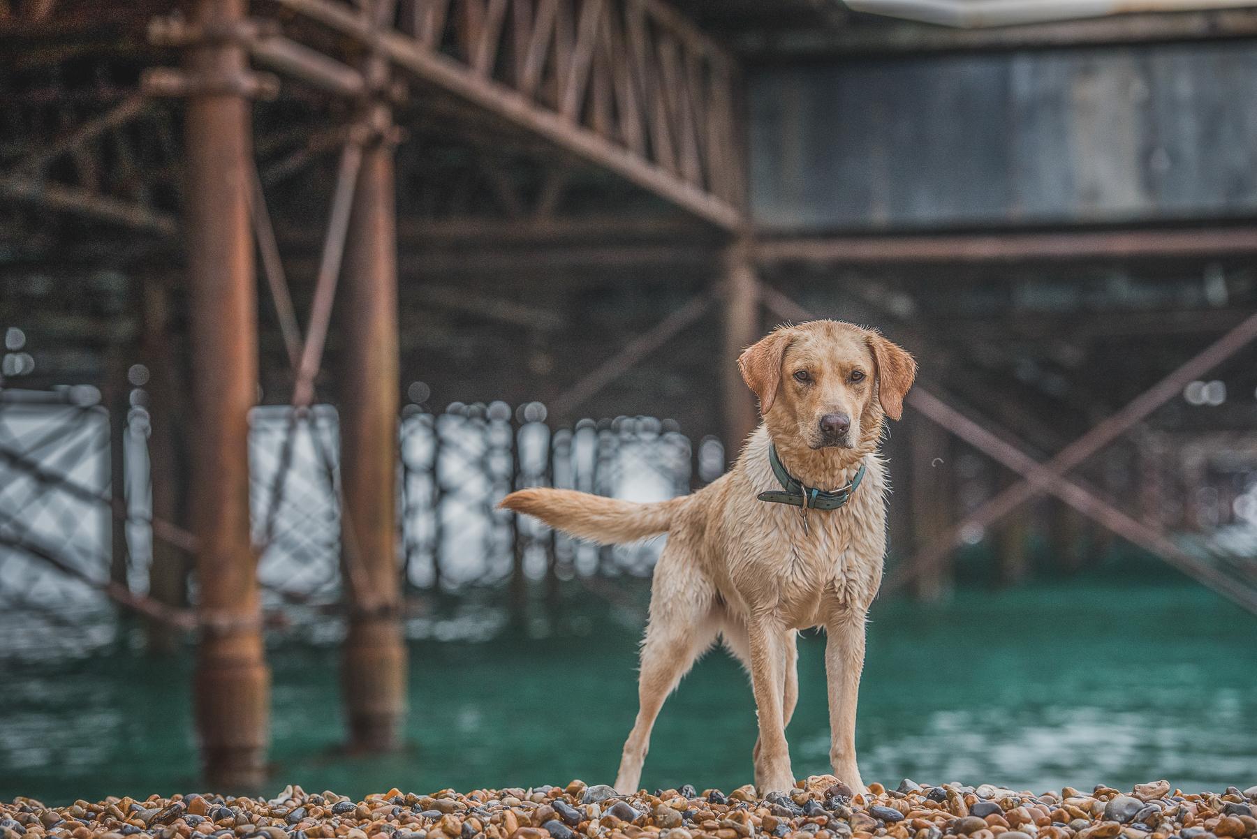 Labrador sitting under Brighton Pier