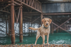 Labrador sitting under Brighton Pier