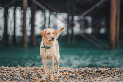 Yellow labrador under brighton pier