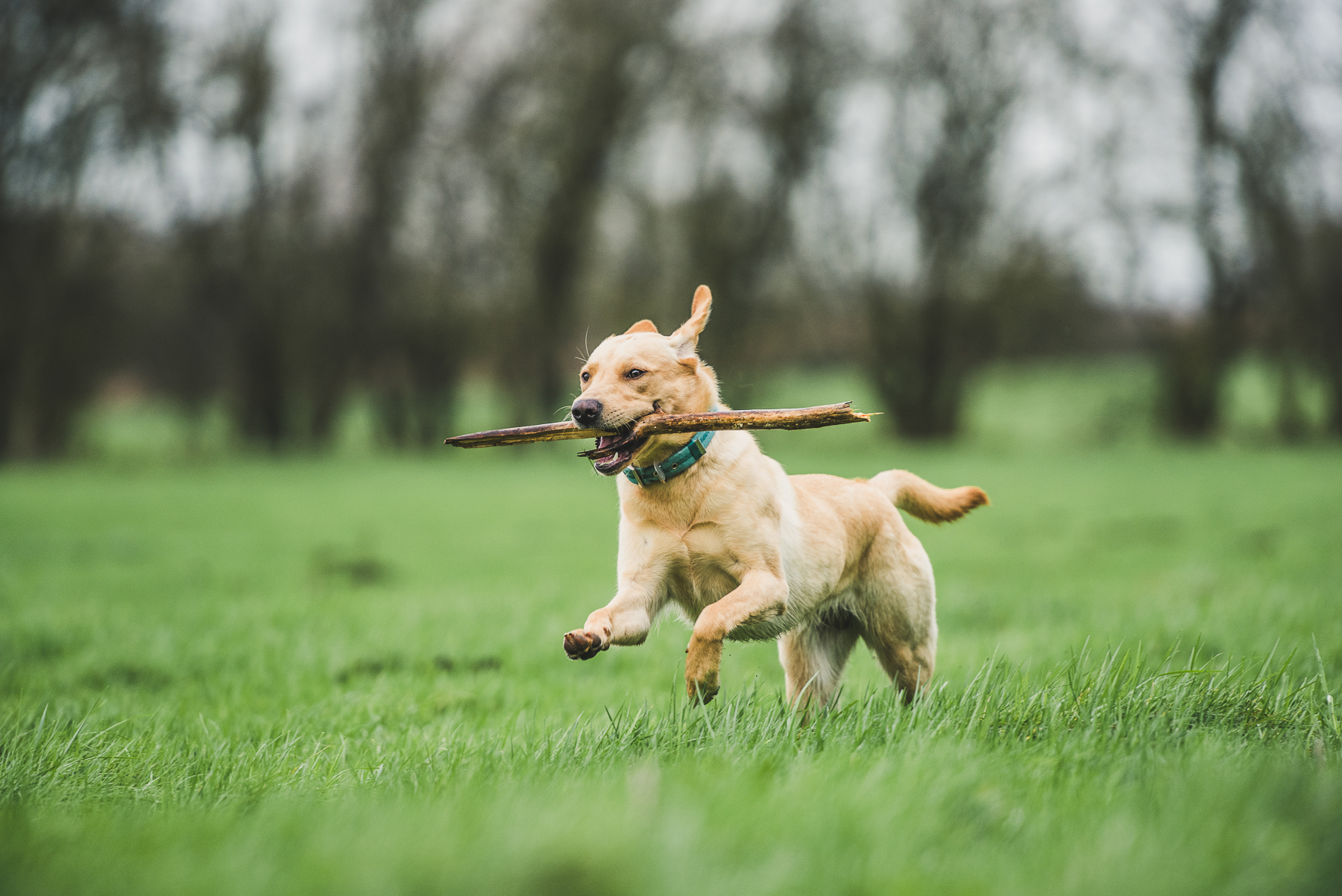 Golden labrador bounding over field with stick