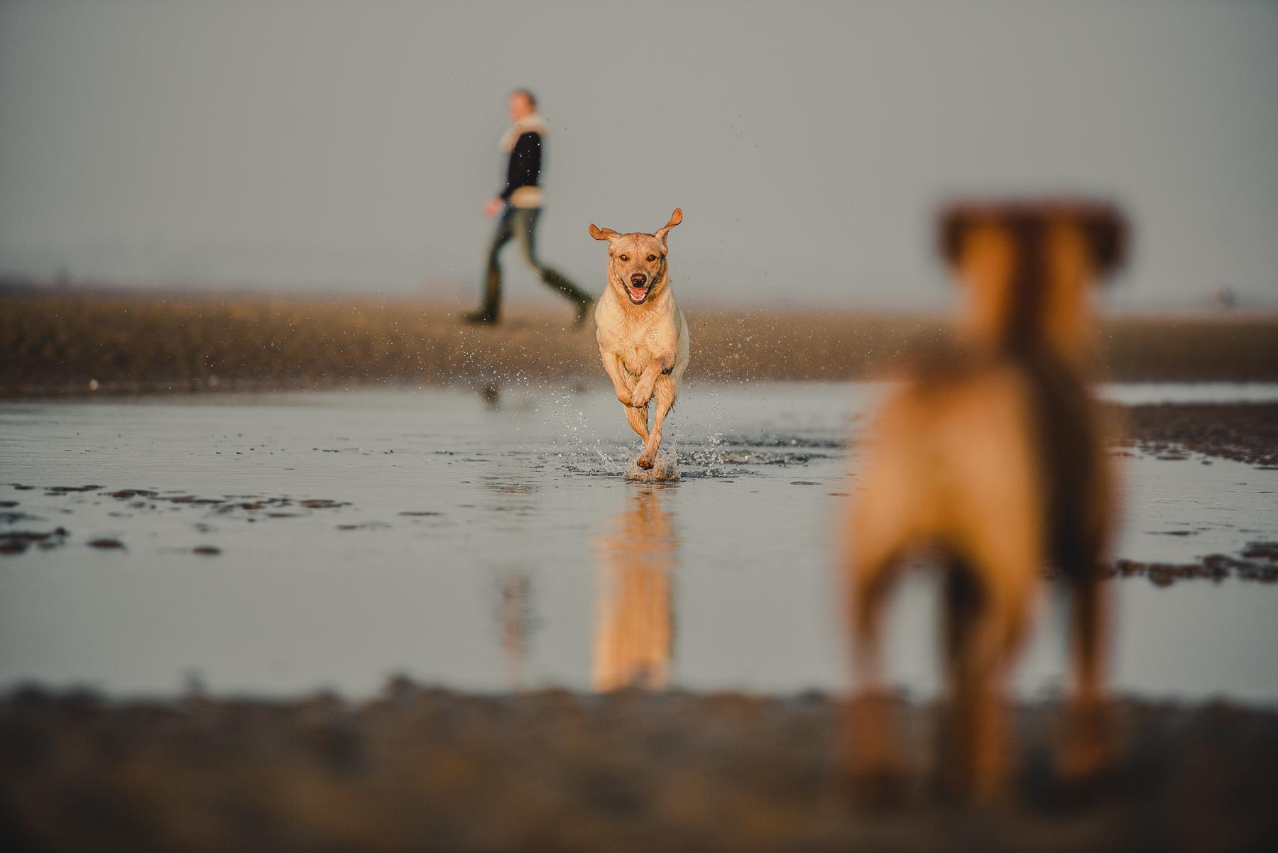 Labrador running through water towards border terrier