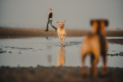Labrador running through water towards border terrier