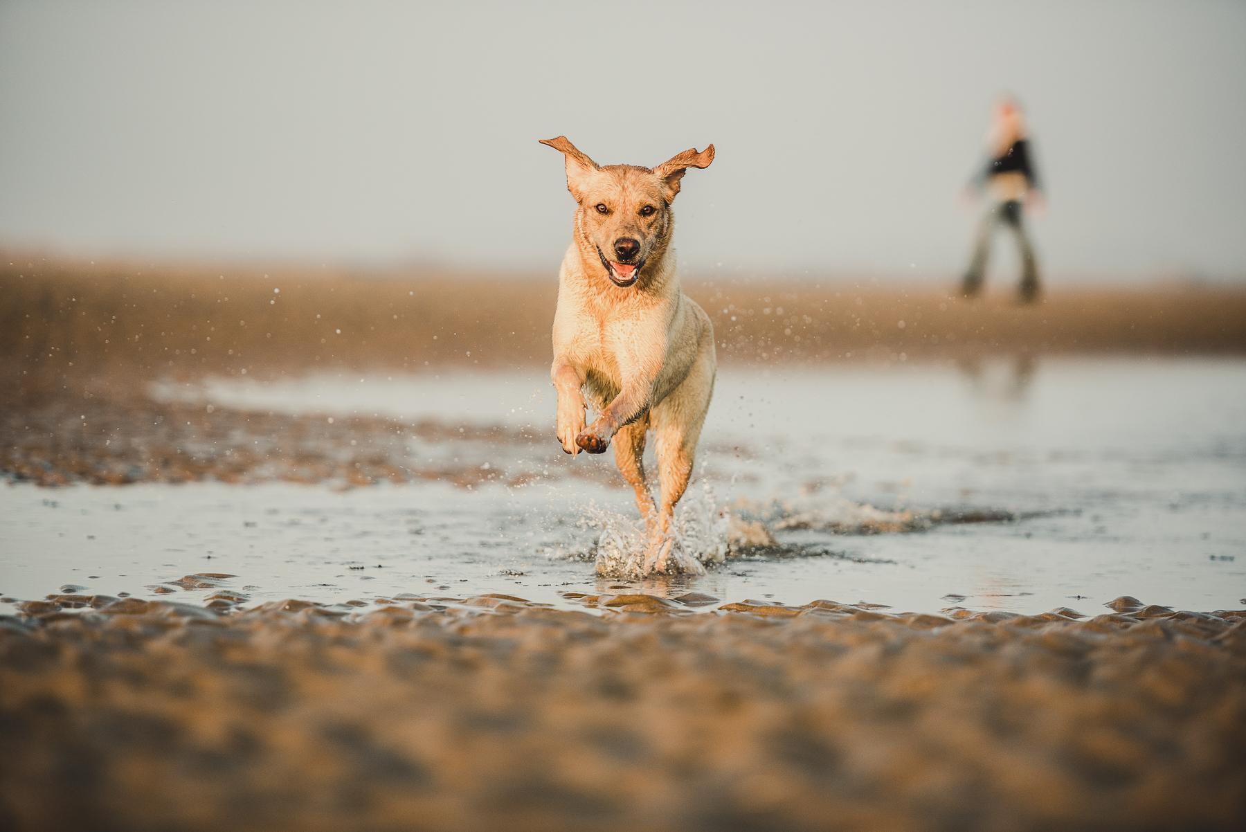 Labrador running through water