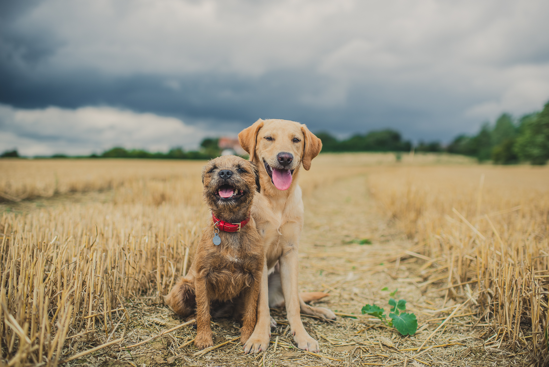 Border terrier and labrador sitting