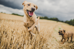 Yellow Labrador jumping away from border terrier in a wheat field