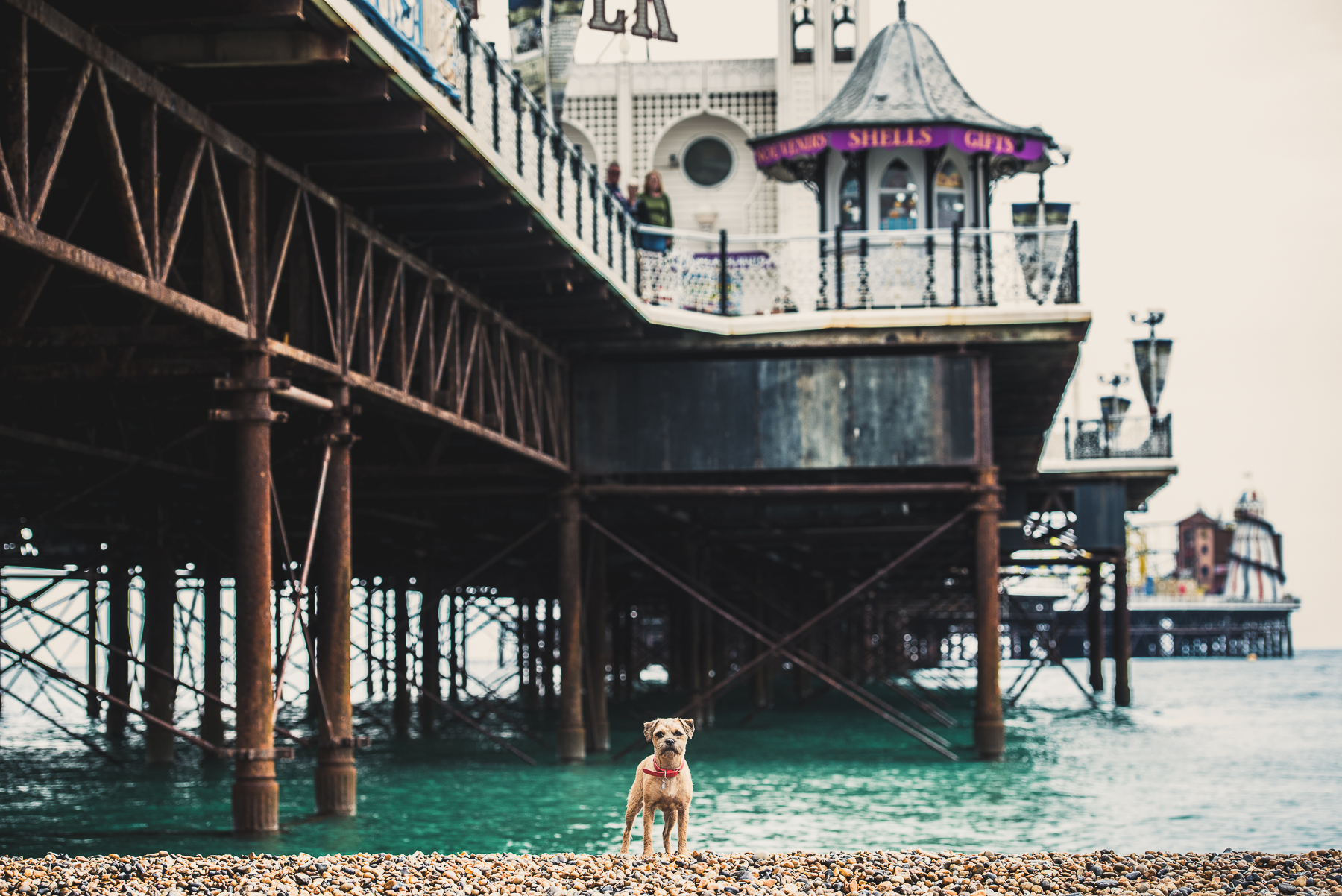 Border terrier standing underneath Brighton Pier