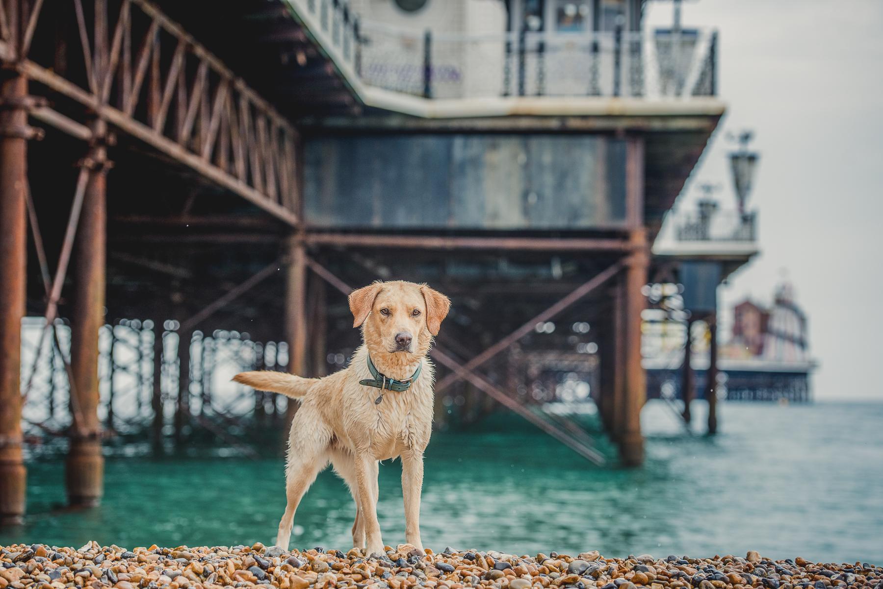 Gold labrador next to Brighton Pier