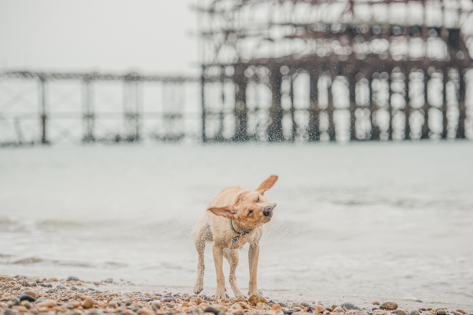 Yellow labrador under old brighton pier