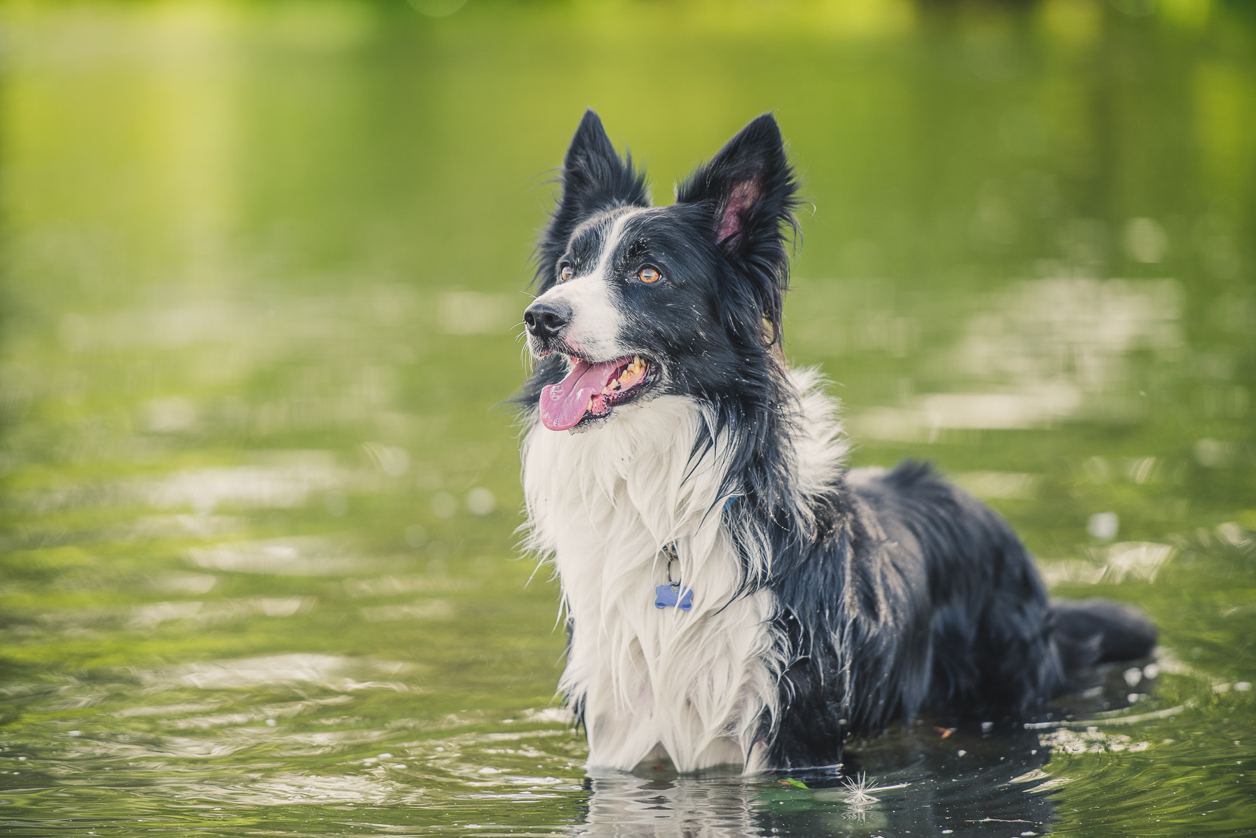 Border collie standing in the river