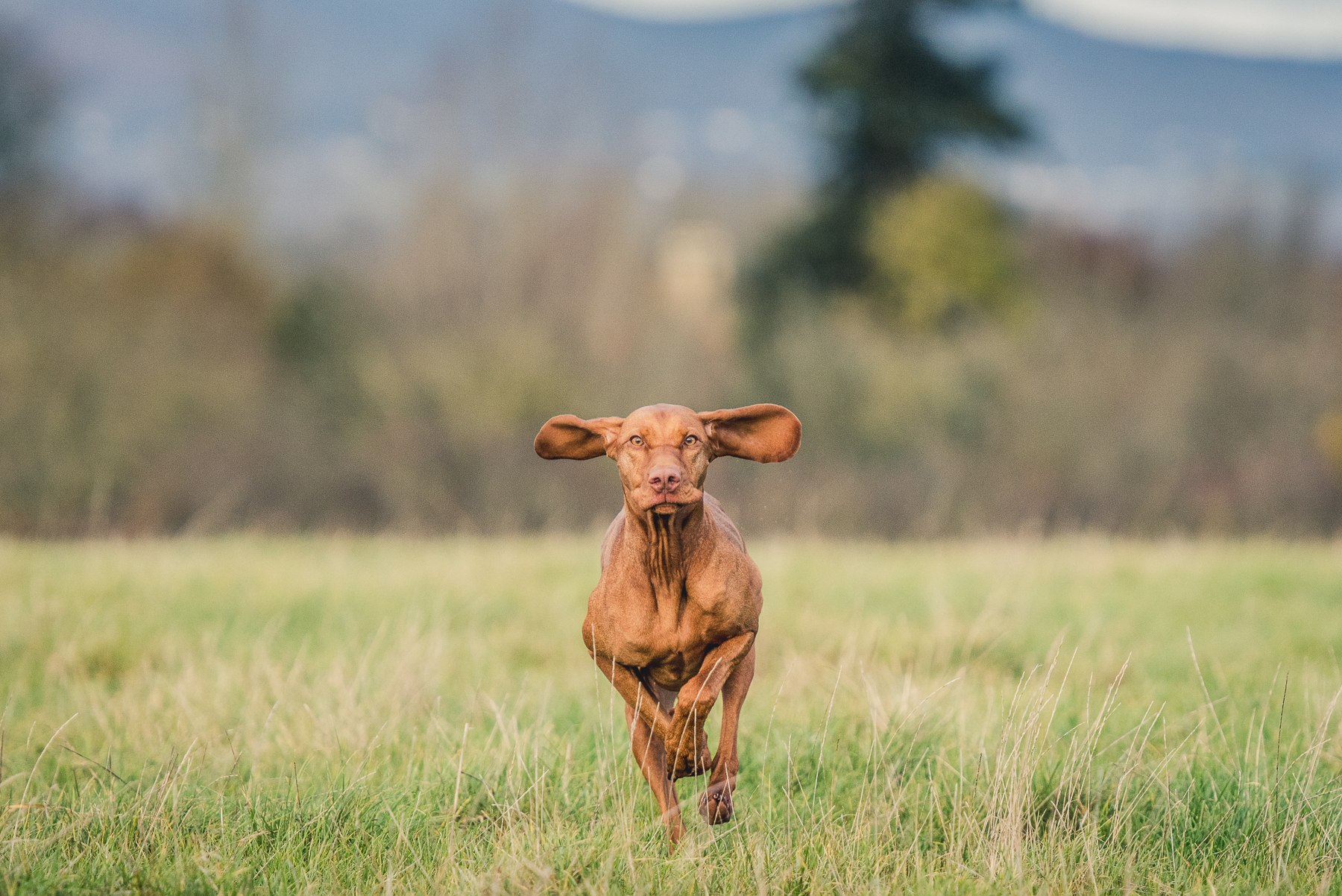 Vizsla running through field