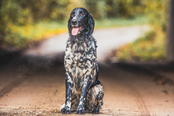 Black and White Setter Sitting