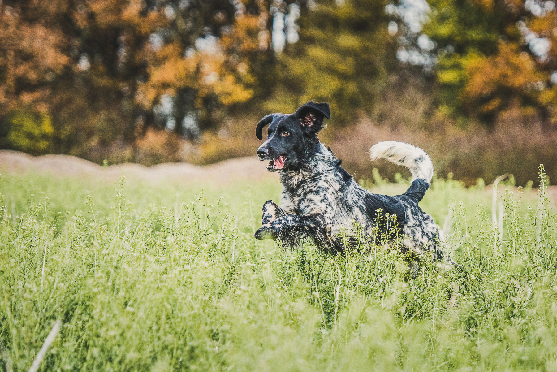 White and Black setter in field