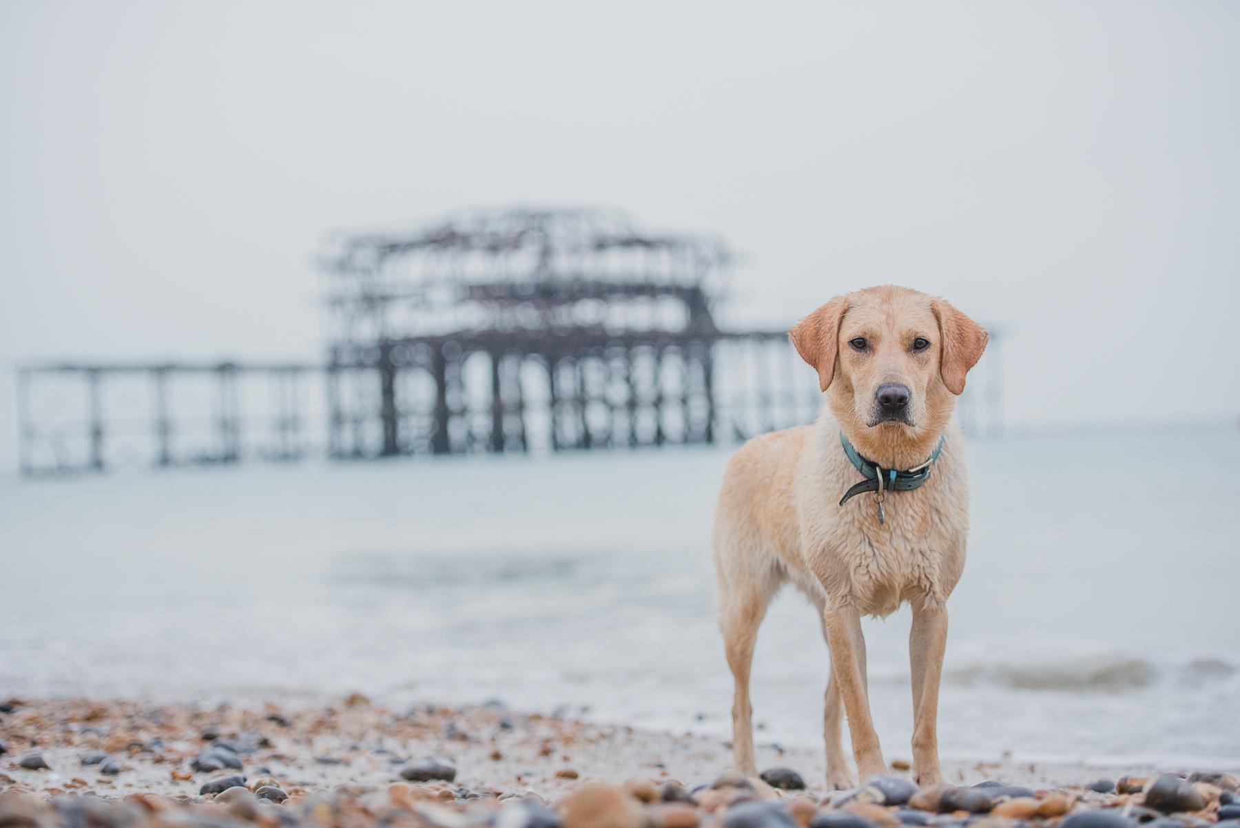 Yellow labrador next to old brighton pier