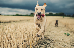 dog being chased through field