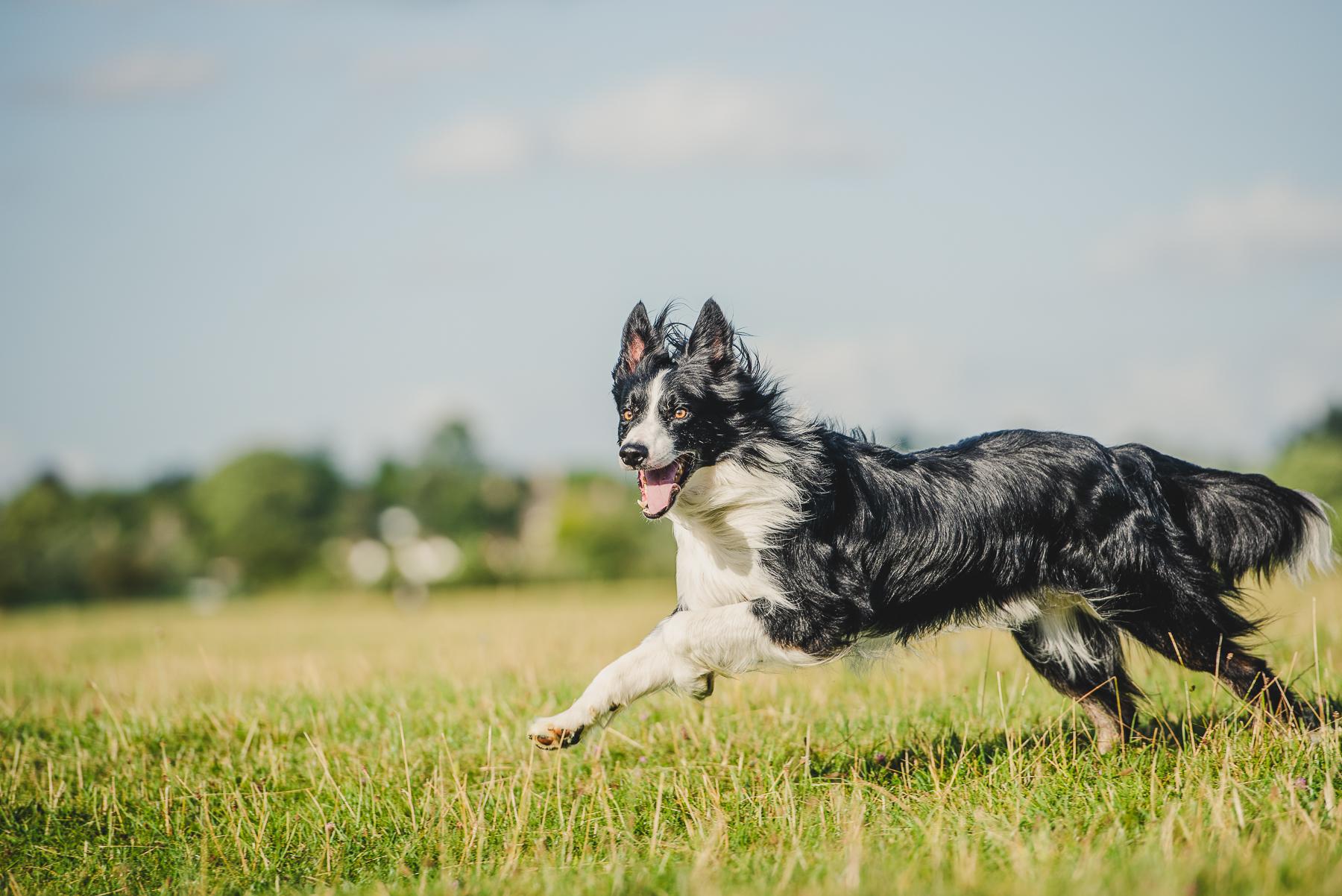 Border collie running through green field