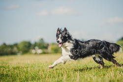 Border collie running through green field