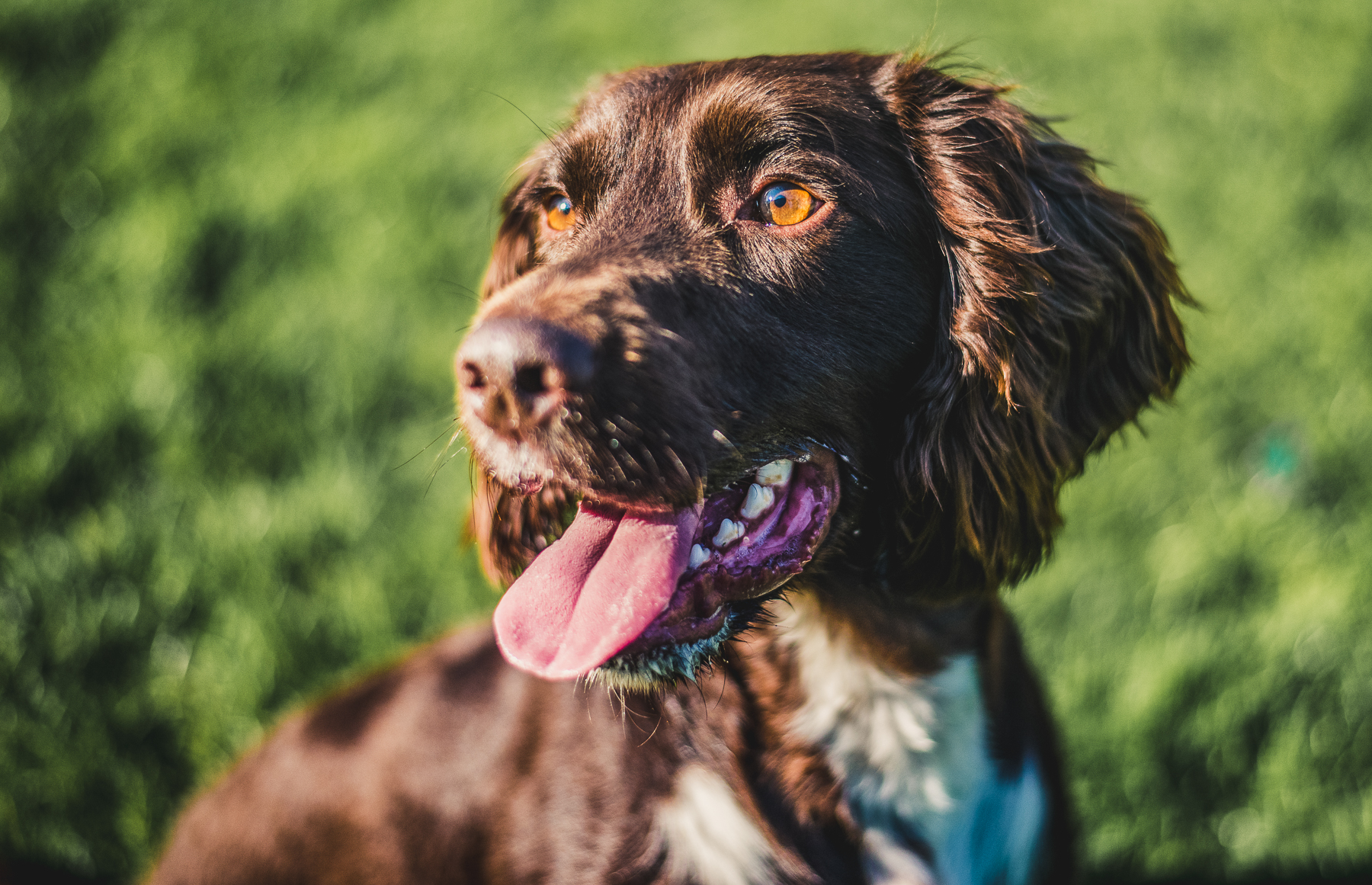 Close up of brown and white spaniel in a green field
