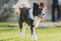 Collie walking next to camera