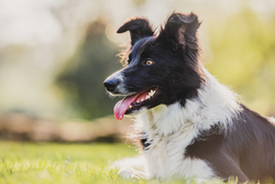 Border collie dog lying in grass