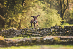 Spaniel jumping over earth