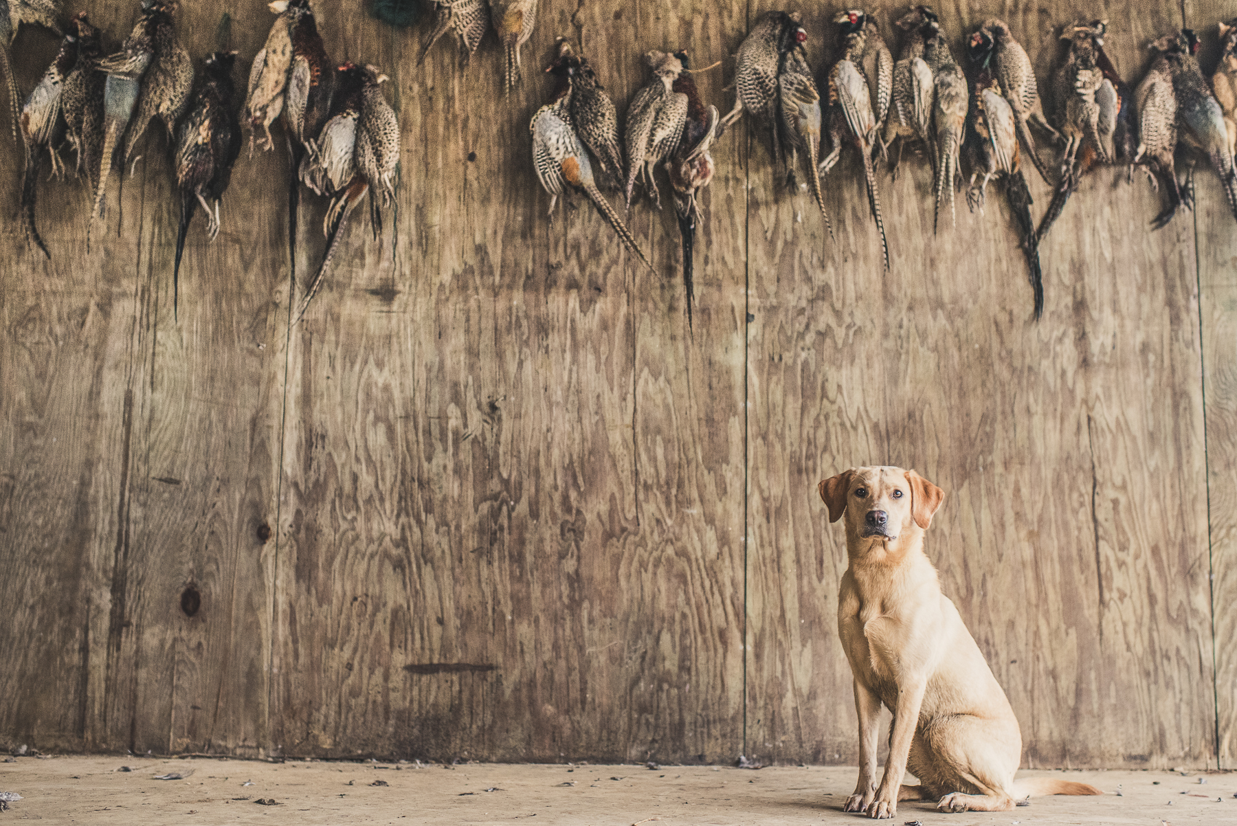 Yellow Labrador sitting under braces of shot pheasants