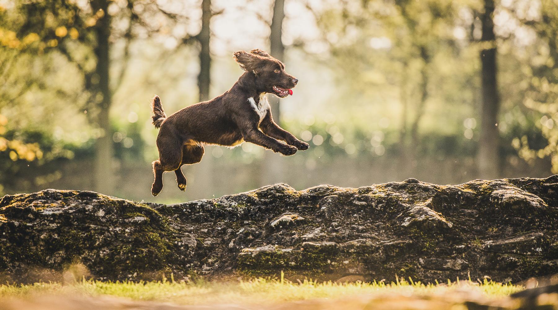 Spaniel mid jump over earth