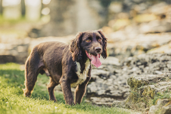 Spaniel with tongue out