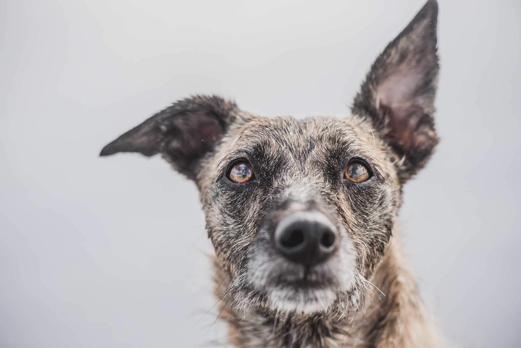 Lurcher with up down ears