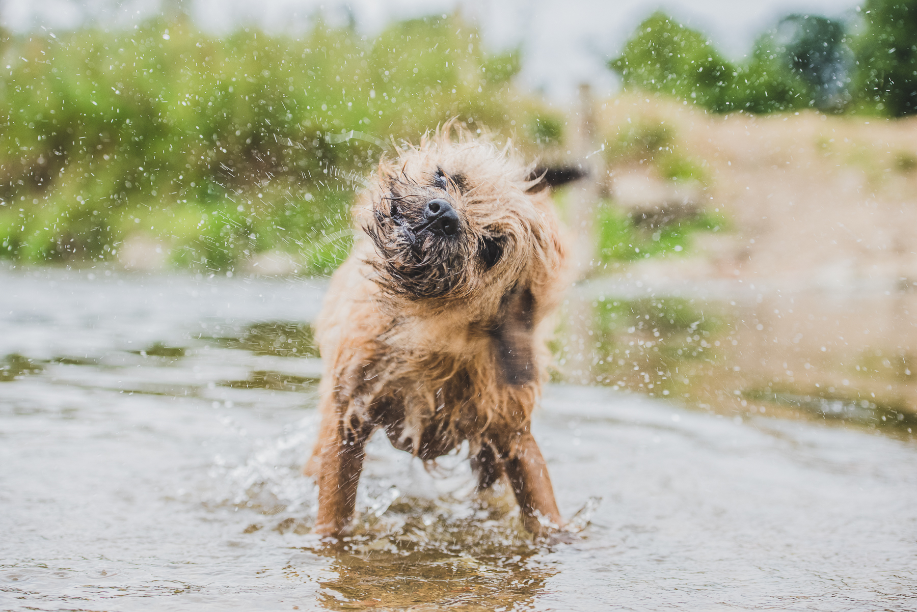 Border terrier shaking off water from river