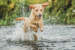 Labrador bounding through river
