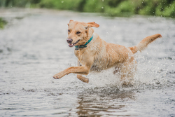 Dog running through river