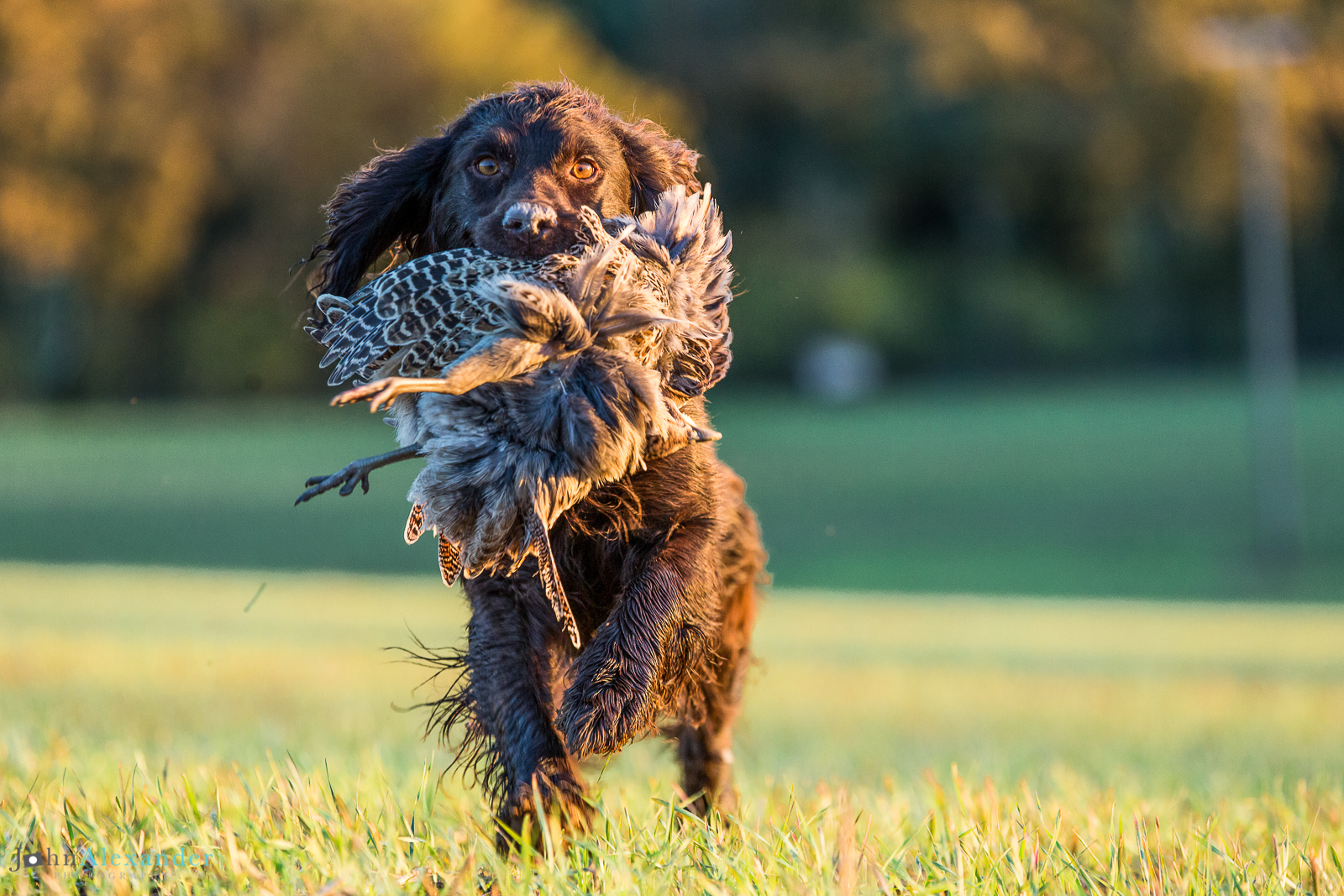 spaniel retrieving pheasant in low afternoon light