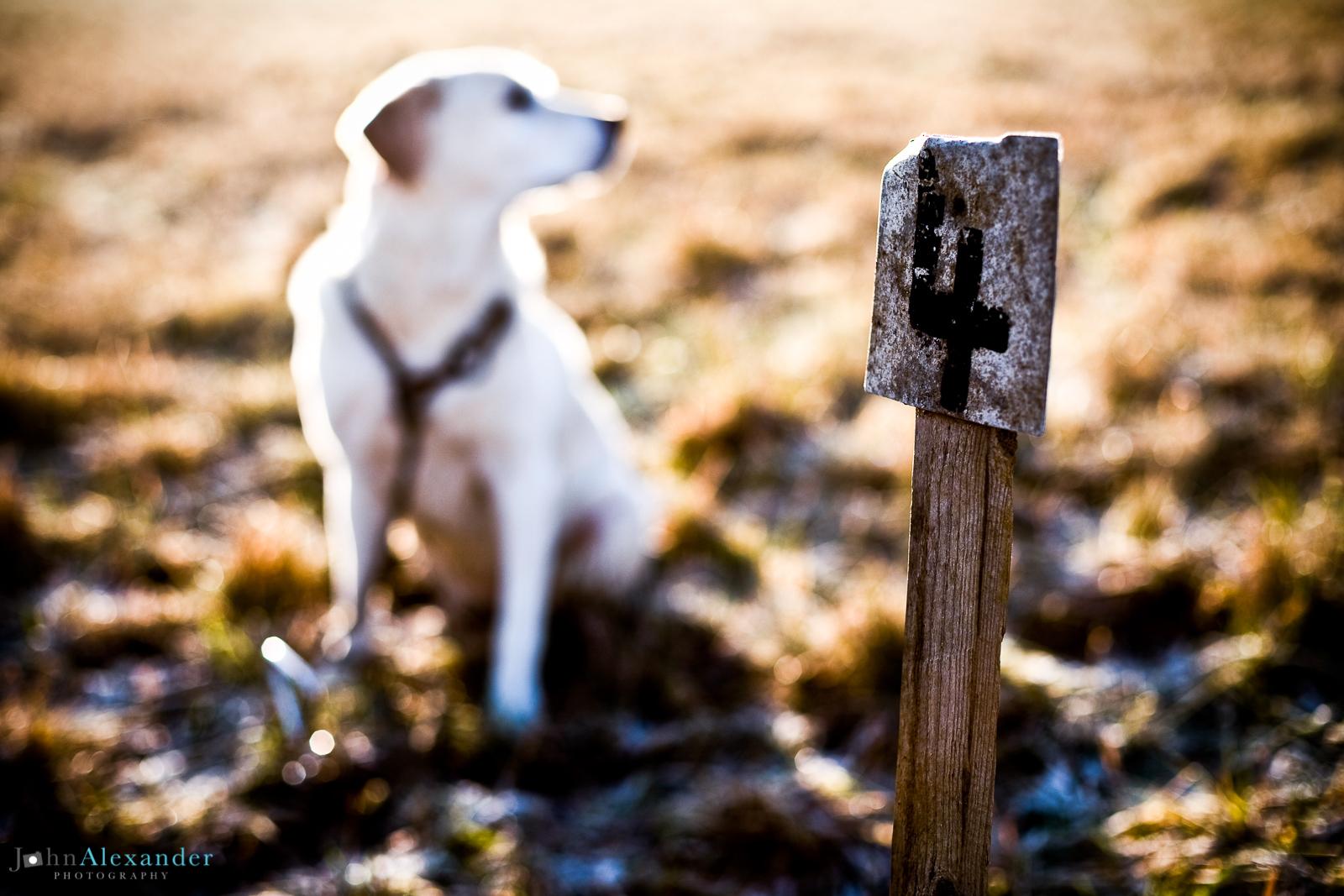 golden labrador on peg