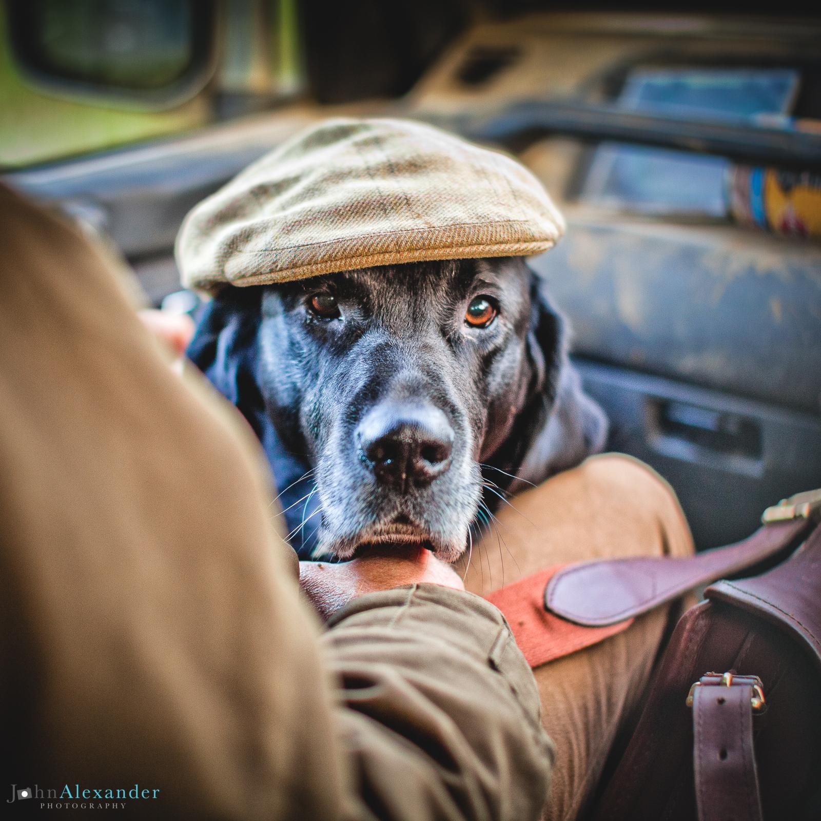 black labrador gun dog with shooting cap on