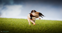 Springer Spaniel retrieving cock pheasant