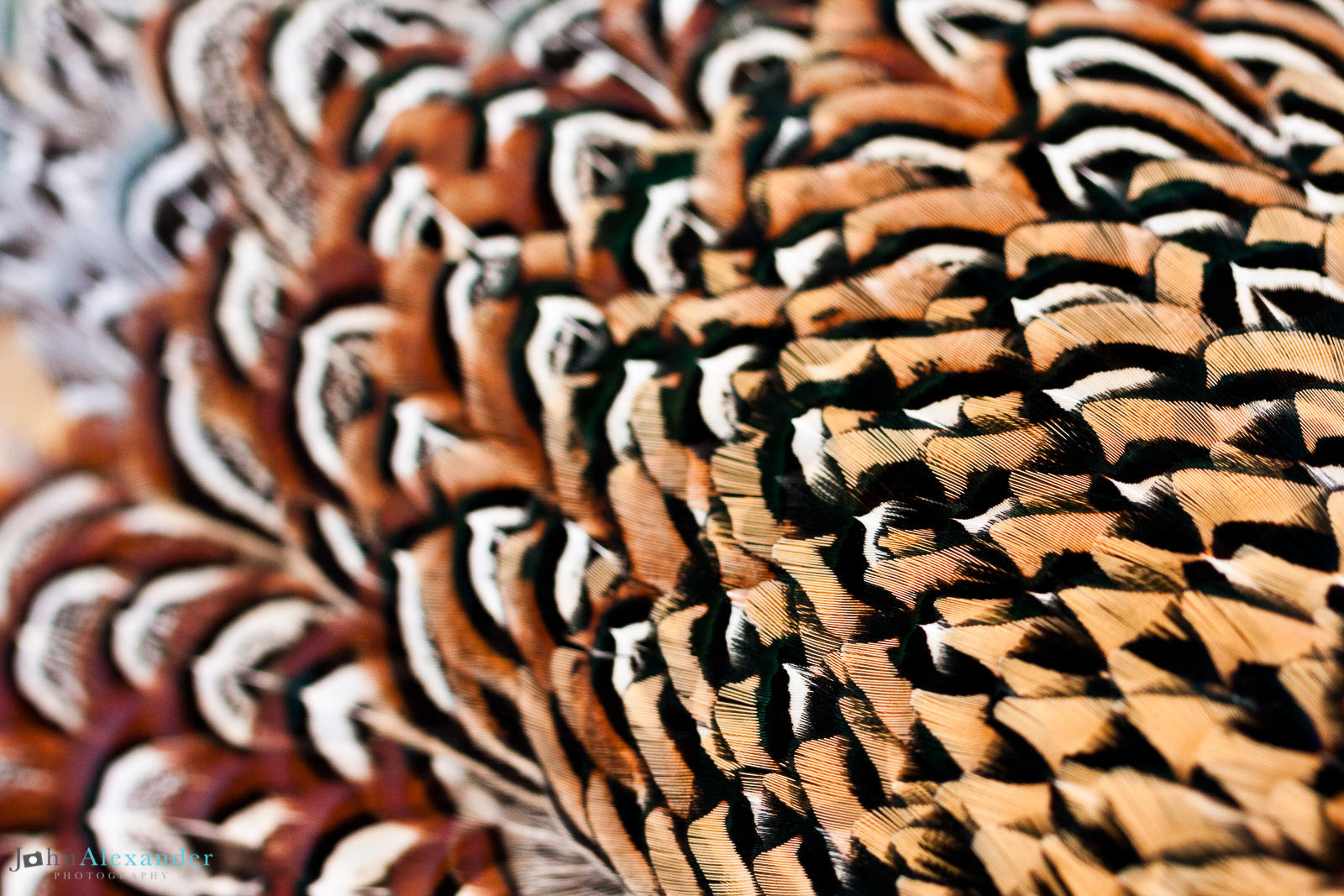 close up of pheasant feathers