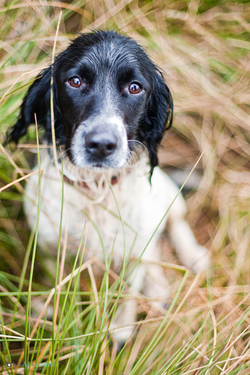 Spaniel gun dog looking up at camera