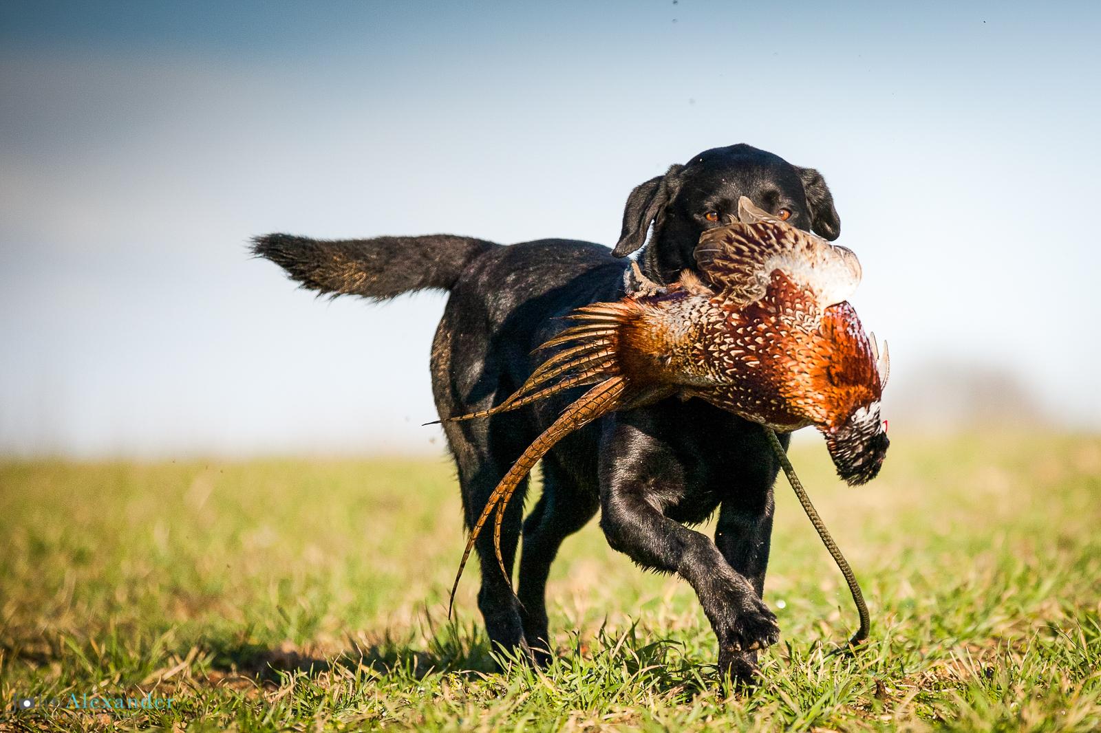 labrador gun dog retrieving cock pheasant