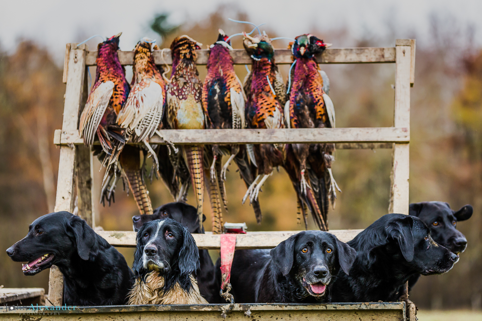 gun dogs in a trailer with pheasant hanging